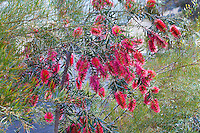 Callistemon 'Kings Park Special', red flowering summer-dry drought tolerant shrub at Australian Native Plant Nursery, Ventura, California