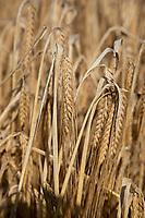Spring barley in ear ready for harvest - Lincolnshire, September