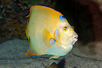 Queen angelfish swimming 45 degrees to camera.