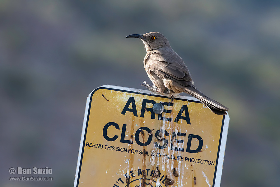 Curve-billed Thrasher, Toxostoma curvirostre, perches on a sign in Dreamy Draw Park, part of the Phoenix Mountains Preserve near Phoenix, Arizona