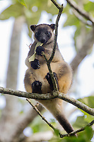 Lumholtz Tree Kangaroo at Nerada Tea Plantation