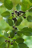 Echter Kreuzdorn, Purgier-Kreuzdorn, Frucht, Früchte, Rhamnus cathartica, Rhamnus catharticus, Common Buckthorn, European Buckthorn, fruit