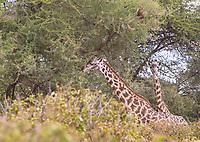 Tanzania. Tarangire National Park.  Two Maasai Giraffes Surrounded by Acacia Trees.