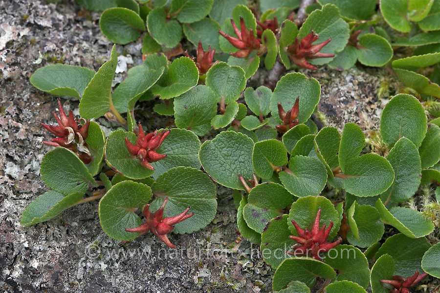Krautige Weide, Kraut-Weide, Krautweide, Weide, Salix herbacea, weibliche Pflanze, Früchte, Dwarf Willow