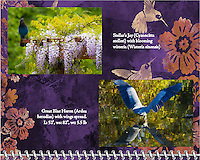 """June of the 2014 Birds of a Feather Calendar. Photo is called """"Wisteria blossoms and Stellars Jay"""" and """"Heron X Marks The Spot"""".  A great blue heron (Ardea herodias) is seen dipping into a pond while opening his wings.  The reflection of the wings is seen in the water at the Ridgefield National Wildlife Refuge."""