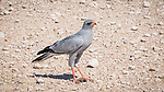 Southern Pale Chanting Goshawk With A Captured Skink.