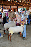 Sheep show in the Monadnock Barn at Cheshire Fair in Swanzey, New Hampshire USA