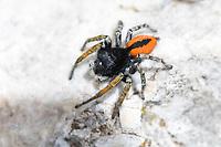 Goldaugen-Springspinne, Goldaugenspringspinne, Springspinne, Männchen, Philaeus chrysops, jumping spider, male, Springspinnen, Salticidae, jumping spiders