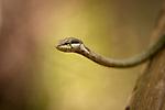 Savannah Vine Snake or Twig Snake (Thelotornis capensis) in ground-water forest. Lake Manyara National Park, Tanzania.