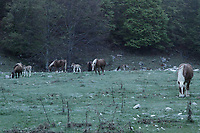 A photo taken at Prati di Mezzo (Meadows in the Middle), in the Abruzzo National Park, at the starting point  of the trails to the Meta Mountains and at about ten chilometers from Picinisco. There are brown horses characterized by a white mane, in a peculiar light, since the meadow was still in the semidarkeness. One can notice three apparently very young foals, too. This is an enlargement of a parte of the original photo.