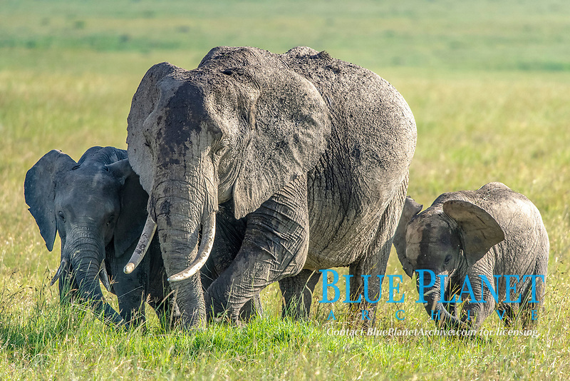 Three African bush elephants (Loxodonta africana), aka African savanna elephants in Maasai Mara National Reserve , Kenya