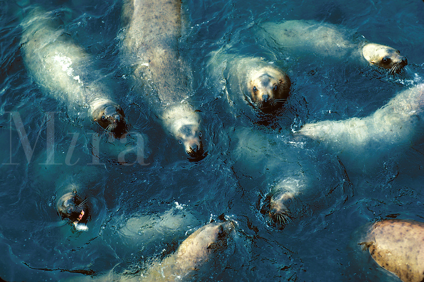 Overview of a group of Stellar Sea Lions in the water. Alaska.