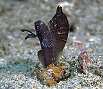 SailfinBlenny displaying