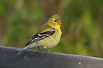 Female American goldfinch (Carduelis tristis) preening