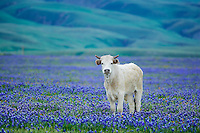 Single cow in pasture of blooming lupine. Near Grapevine, California