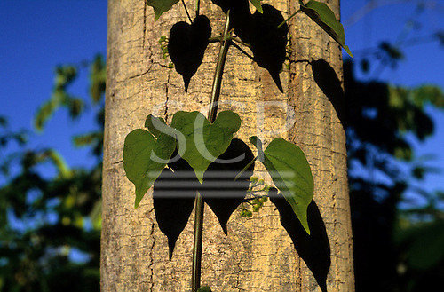 Amazon, Brazil. Tree trunk with green climbers growing up it. Living forest. Juruena, Mato Grosso.