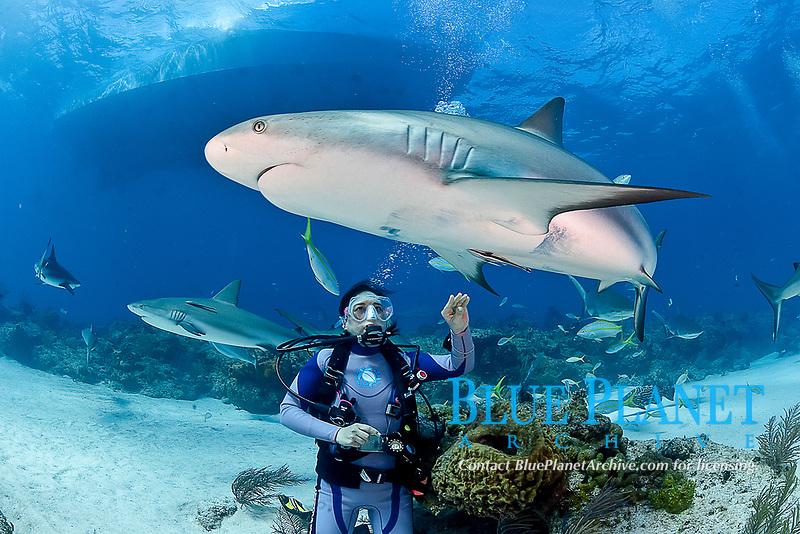 Caribbean Reef Sharks, Carcharhinus pereziii, with scuba diver reching to touch shark, Bahamas, Caribbean, Atlantic