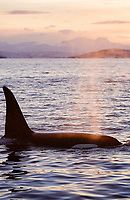 Killer whale, Orcinus orca, Adult male surfacing to breath at sunset, Tysfjord, Arctic Norway, North Atlantic