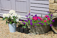 Container garden with pails of verbena, geranium pelargonium, hydrangea against house wall