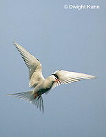 MC59-030z  Arctic Tern - flying above island - Machias Seal Island, Bay of Fundy - Sterna paradisaea