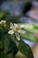 A close up of the white flowers of a Seville orange tree