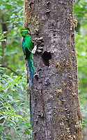 The male quetzal brings food (an avocado) to its chicks in the nest.