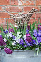 Hyacinths, pansies, artificial ornamental bird made of wicker willow in galvanized tub container garden in spring bloom