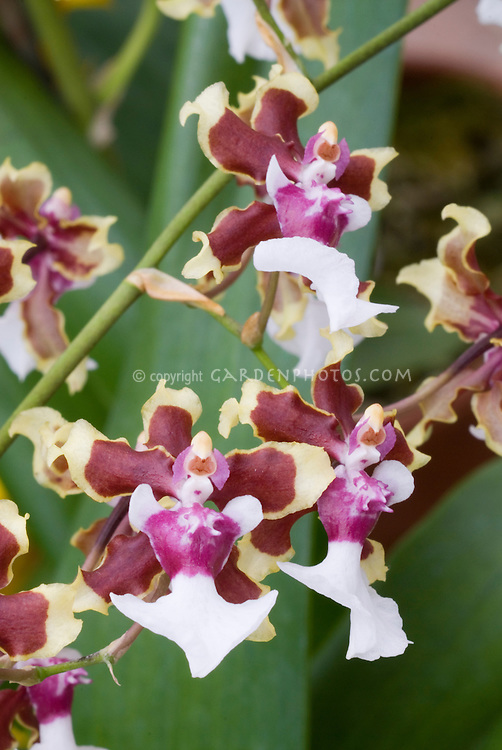 Orchids Oncidium Sharry Baby 'Tricolor', a popular hybrid greatly fragrant of chocolate