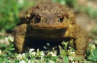 Erdkröte, Portrait, Erd-Kröte, Kröte, Bufo bufo, European common toad