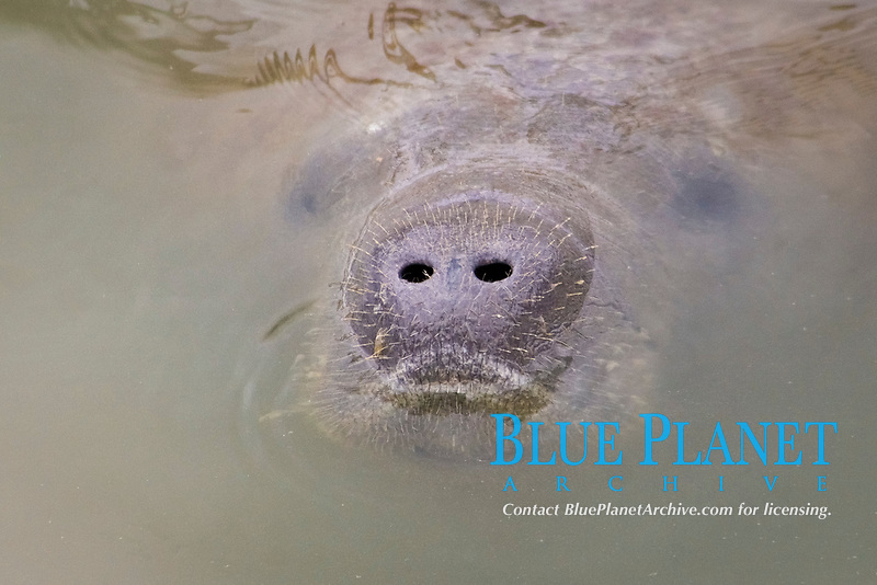 Florida Manatees (Trichechus manatus latirostris) Surfaces for a breath of fresh air near the warm water discharge at the Tampa Electric Company Manatee Viewing Center located in Apollo Beach,Florida.