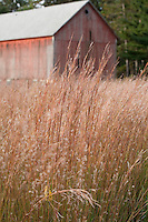 Schizachyrium scoparium (little bluestem) native grass field reddish fall color, agriculture Wisconsin, Prairie Nursery