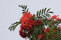Gewöhnliche Eberesche, Gewöhnliche Vogelbeere, Eber-Esche, Vogel-Beere, Früchte, Sorbus aucuparia, Mountain Ash, Rowan, Sorbier des oiseleurs