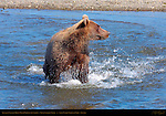 Alaskan Coastal Brown Bear Fishing, Silver Salmon Creek, Lake Clark National Park, Alaska