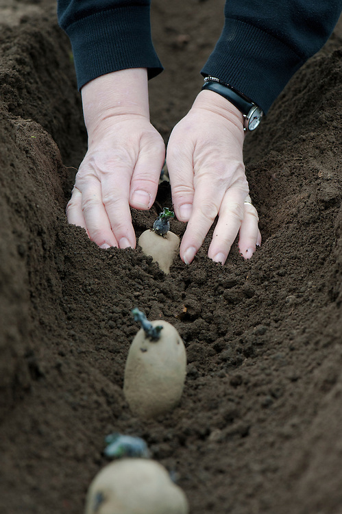 Planting seed potatoes in a drill or trench. Cover with earth, taking care not to damage or break off the chits.