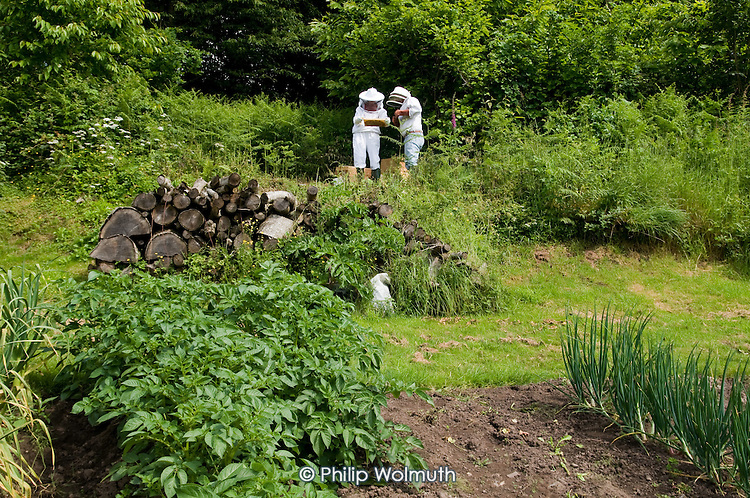 Two bee-keepers in protective clothing check a hive on a smallholding in the Golden Valley, Herefordshire.