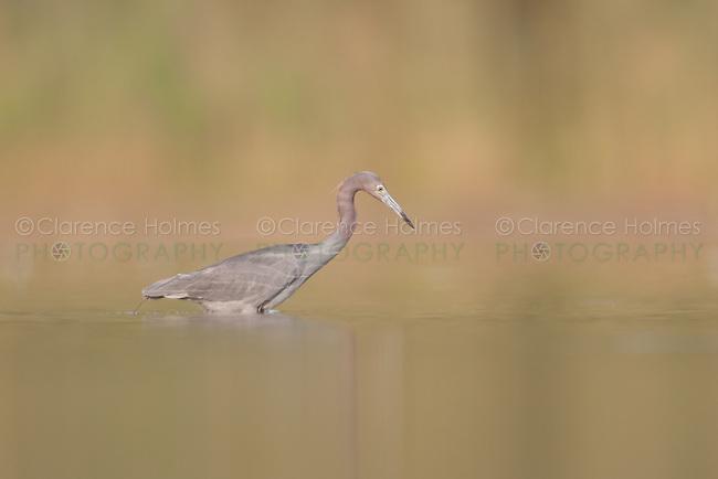 Little Blue Heron (Egretta caerulea), East Pond, Jamaica Bay Wildlife Refuge
