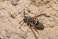 Gemeine Schornsteinwespe, Schornstein-Wespe, Odynerus spinipes, Oplomerus spinipes, Spiny Mason Wasp, Lehmwespe, Lehmwespen, Eumenidae