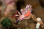 Aeolid nudibranch (Flabellina rubrolineata) right before laying its eggs