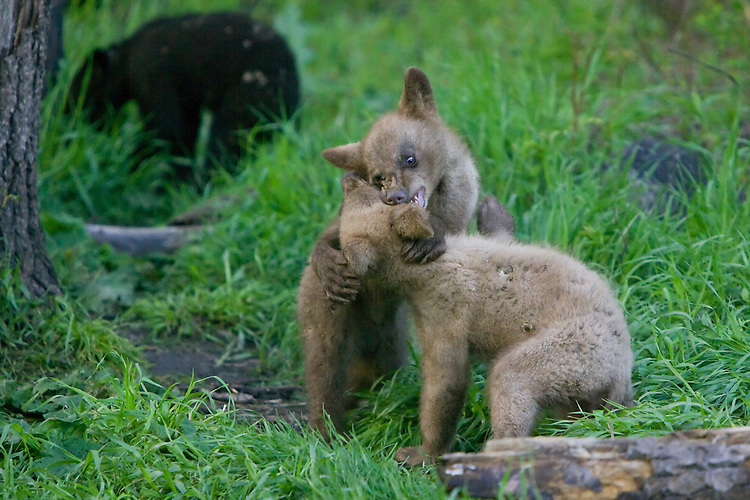 Pair of Cinnamon Black Bear cubs wrestling