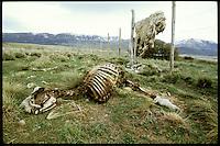 Totes Schaf auf einer Weide bei Santa Anita in Patagonien. Durch den extrem kalten Winter 2000 sind etliche Tiere erfroren.<br /> Dead sheep near Santa Anita in Patagonia. Many of them freeze to death in the extrem cold winter 2000.<br /> 25.10.2000, Santa Anita<br /> Copyright: Christian-Ditsch.de<br /> [Inhaltsveraendernde Manipulation des Fotos nur nach ausdruecklicher Genehmigung des Fotografen. Vereinbarungen ueber Abtretung von Persoenlichkeitsrechten/Model Release der abgebildeten Person/Personen liegen nicht vor. NO MODEL RELEASE! Nur fuer Redaktionelle Zwecke. Don't publish without copyright Christian-Ditsch.de, Veroeffentlichung nur mit Fotografennennung, sowie gegen Honorar, MwSt. und Beleg. Konto: I N G - D i B a, IBAN DE58500105175400192269, BIC INGDDEFFXXX, Kontakt: post@christian-ditsch.de<br /> Urhebervermerk wird gemaess Paragraph 13 UHG verlangt.]