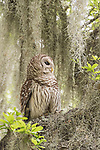 Damon, Texas; an adult Barred Owl perched on the branch of a large, live oak tree with spanish moss, in early morning overcast light