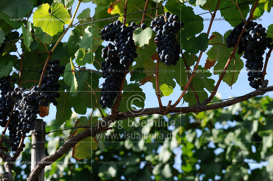 Uruguay, near Montevideo, winemaker, Castel Pujol - Juan Carrau SA, Bodega Colon since 1887, cultivation of grape Tannat