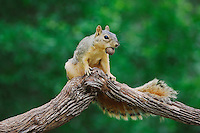 Eastern Fox Squirrel (Sciurus niger), male eating pecan nut, Refugio, Coastel Bend, Texas, USA