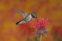 Broad-tailed Hummingbird, Selasphorus platycercus,Rocky Mountain National Park, Colorado, USA, June 2007