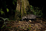 African Civet (Civettictis civetta) walking through rainforest at night, Kibale National Park, western Uganda