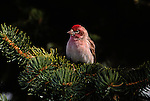 Cassin's Finch perched in a conifer branch