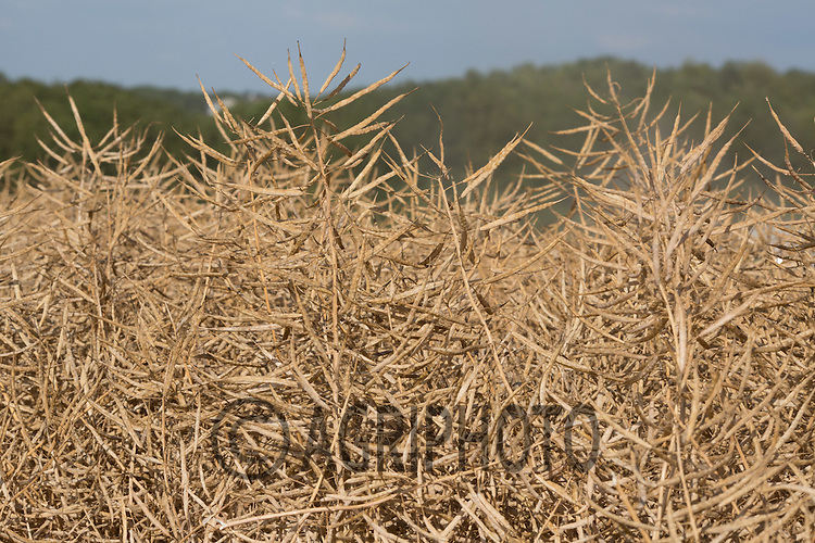 Oilseed rape ready for harvest <br /> Picture Tim Scrivener 07850 303986<br /> ….Covering agriculture in the UK….