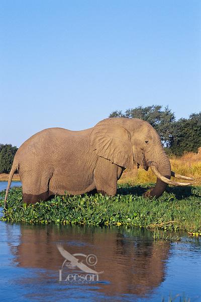 Large African Elephant bull feeds along the edge of the Zambezi River on the border of Zambia and Zimbabwe.