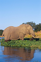 Large African Elephant bull feeds along the edge of the Zambezi River on the border of Zambia and Zimbabwe.