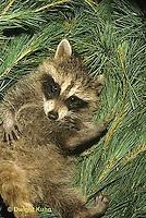 MA25-241z  Raccoon - young raccoon resting - Procyon lotor